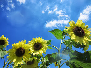 Photo: Groups of sunflowers under a blue sky at Cox Arboretum and Gardens of the Five Rivers Metroparks in Dayton, Ohio.