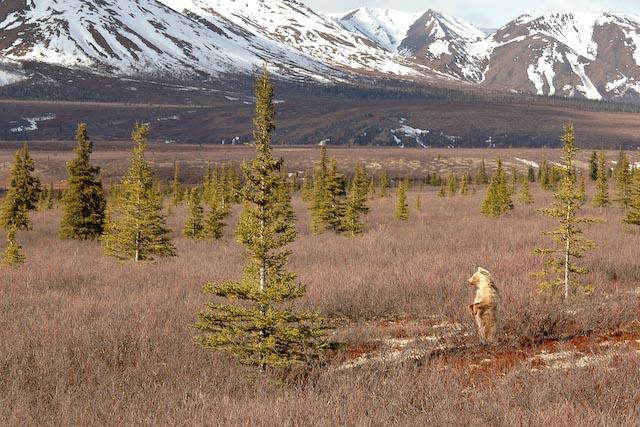 We saw so many grizzlies in Denali