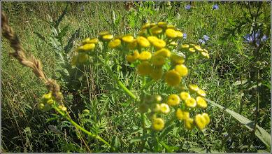 Photo: Vetrice (Tanacetum vulgare) - de pe Str. Cheii - 2017.07.18