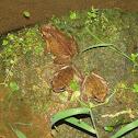 Beaked toad