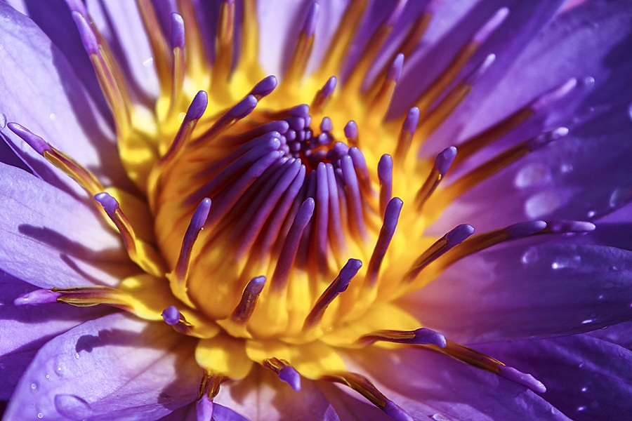 Afternoon Water Lily by Dhemmy Zeirifandi - Nature Up Close Flowers - 2011-2013