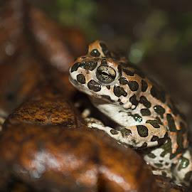 Green Toad by Ioana Cristina - Animals Amphibians ( macro, nature, green, amphibian, wildlife, toad, photography, closeup )