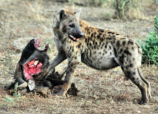 Hyena feeding on a wildebeest killed by a lion. File photo.