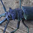 Iridescence Longhorn Beetle