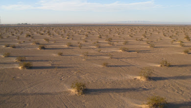 Photo: Windswept sand downwind from each bush