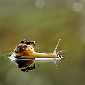 by Syamsu Hidayat - Animals Insects & Spiders ( water, reflection, macro, snail, insect, light, animal )