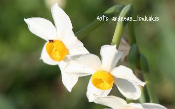 Photo: ΝΑΡΚΙΣΣΟΣ Ο ΤΑΖΕΤΤΙΟΣ Narcissus tazetta ΕΛΟΥΝΤΑ ΛΑΣΙΘΙΟΥ  Οι νάρκισσοι περιλαμβάνουν περί τα 50 είδη. Στην Ελλάδα συναντώνται 6 με πιο δημοφιλή την γνωστή και από τους αρχαίους μύθους αμαρυλλίδα: Narcissus tazetta. Είναι πολυετές βολβώδες φυτό, ενδημικό της μεσογείου και ανθίζει νωρίς τον χειμώνα, τα δε άνθη του είναι ερμαφρόδιτα, (έχει αρσενικά και θηλυκά άνθη), που γονιμοποιούνται από μέλισσες. Το άρωμα των ανθέων είναι σχεδόν μεθυστικό. Μεγάλη ποσότητα ανθέων νάρκισσου σε κλειστό χώρο μπορεί να προκαλέσει ελαφρά νάρκωση. Προτιμά τα βαριά και υγρά εδάφη αλλά δεν αποκλείεται να τα βρούμε και σε βραχώδεις εκτάσεις. Ο βολβός του κυρίως, (που μοιάζει με κρεμμύδι), αλλά και τα φύλλα περιέχουν ένα δηλητηριώδες αλκαλοειδές, τη Lycorine, η κατανάλωση της οποίας σε μεγάλες ποσότητες την καθιστά θανατηφόρο.  Το όνομα του προέρχεται από τον ήρωα της ελληνικής μυθολογίας, τον Νάρκισσο, το δε tazetta σημαίνει μικρή κούπα, από το σχήμα της κιτρίνης κορόνας του άνθους.