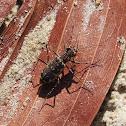 Tiger Beetle (L. fuliginosa)