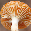 Meadow Waxcap