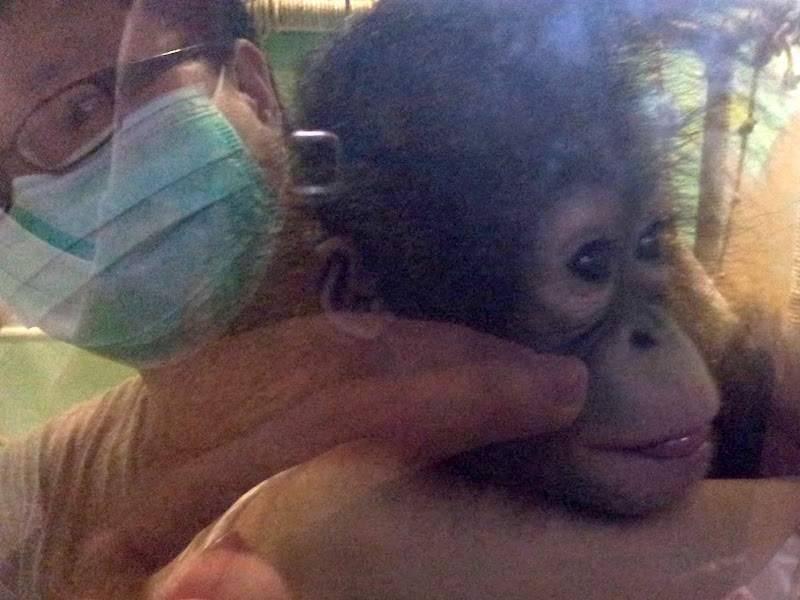 Photo: Baby Bornean Orang-utan (nine month old)