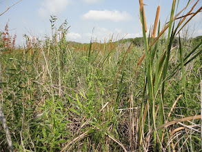 Photo: Lots of marsh plants like the cattails are edible and have long fibers in the fronds (leaves).