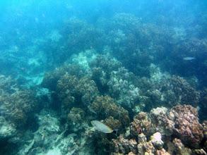 Photo: Coral Seascape and Java Rabbitfish