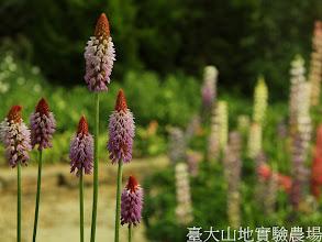 Photo: 拍攝地點: 梅峰-溫帶花卉區  拍攝植物: 尖塔櫻草(前)和羽扇豆(後) 拍攝日期:2012_03_02_FY