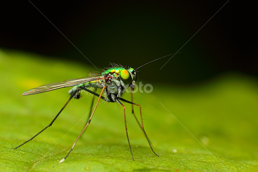 His Greeny Metalic by Vincent Sinaga - Animals Insects & Spiders