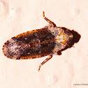 Achilid Planthopper