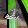 White-lined Hypena Moth
