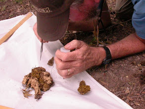 Photo: Dung patty placed on a beat sheet to facilitate finding Histerids and Staphylinids. (Note to self, wash sheet)