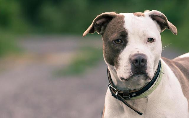 American Staffordshire Terrier Themes New Tab