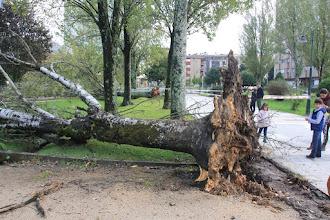 Photo: Chopo  Arrancado por un temporal no 2015  http://herbasdoghafos.blogspot.com.es/2015/10/dous-chopos-e-un-liquidambar-menos-en.html