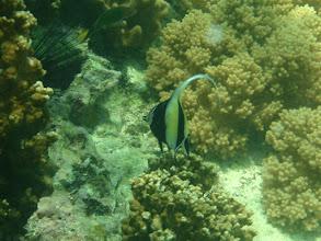 Photo: Zanclus cornutus (MoorishIdol), Panglao Island Philippines