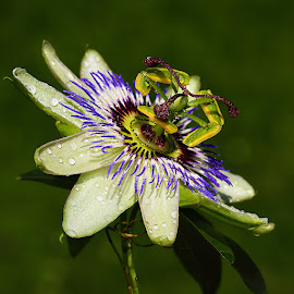 Passiflora magnifica by Gérard CHATENET - Flowers Single Flower (  )