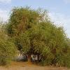 Egyptian balsam