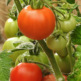 nearly ripe  by Eloise Rawling - Nature Up Close Gardens & Produce ( ripening, tomatoes, produce,  )
