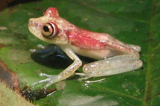 Nympha Amazon treefrog