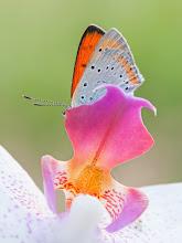 Photo: Grand Cuivré / Cuivré Des Marais, Lycaena Dispar http://lepidoptera-butterflies.blogspot.com/ https://www.facebook.com/pages/Macro-Photography-Do-Dema/540798875993427