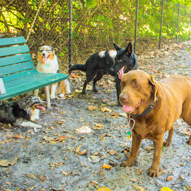 bench buds by Meaghan Browning - Animals - Dogs Playing ( dogs, park, bench, group, variety )