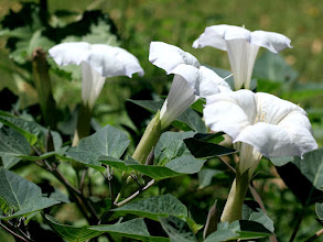 Photo: Datura Patch Blooms