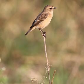 Stoliczka's Bushchat by Vivek Naik - Animals Birds ( stoliczka's bushchat )