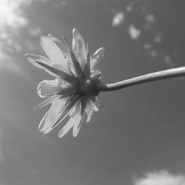 Цвете by Georgi Kolev - Black & White Flowers & Plants ( облаци., небе., слънце., цвете., време. )