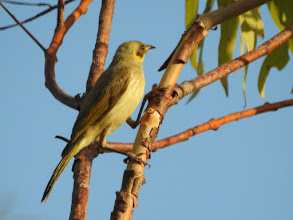 Photo: Grey-fronted Honeyeater on the Escarpment Lookout, Timber Creek