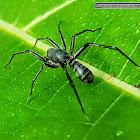 Antmimicking spider