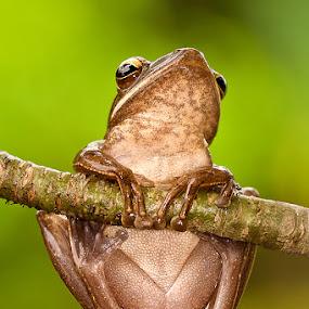 on top of my head by Lessy Sebastian - Animals Amphibians ( frog, amphibian, eyes, animal )