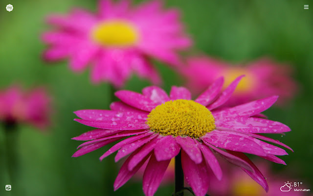 My Daisy Flowers HD Wallpapers New Tab Theme