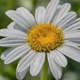Feeling Soft by Janice Mcgregor - Flowers Flowers in the Wild ( single, floral photography, nature, white, nature photography, outside, flower photography, flower,  )