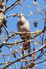 Photo: Mourning Dove Coo-ing high up in a tree:  http://www.allaboutbirds.org/guide/mourning_dove/id