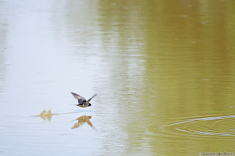Photo: A Barn Swallow (Afrikaans: Europese Swael) scoops water at the bird hide at Stofdam in the Mokala National Park.
