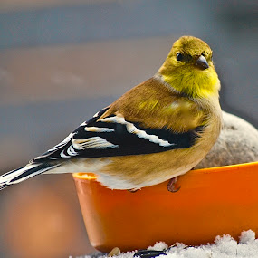 American 'Goldfinch'-Male by Doug Wean - Animals Birds ( bird, winter, nature, wings, nature up close, wildlife, yellow, feathers, goldfinch, feeder,  )
