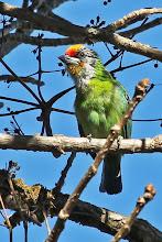 Photo: Golden-throated Barbet