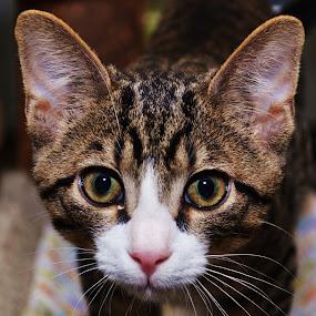 Stripe by Michael Cowan - Animals - Cats Portraits (  )