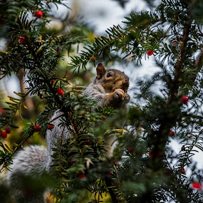 -.- by Kiril Kolev - Animals Other ( park scene, animals, tree, smell christmas, wildlife, beauty in nature, squirrel )