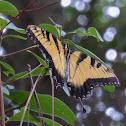 Eastern Tiger Swallowtail ♂