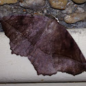 Curve-toothed Geometer Moth