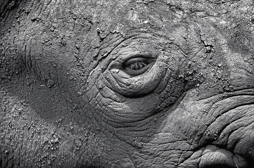 Dry mud covers the face of a black rhino at the National Zoological Gardens. File picture