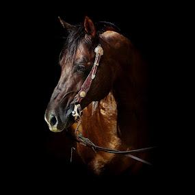 Quarter horse by Alessandra Cassola - Animals Horses ( #horse, #reining, #riding, #quarter horse )