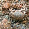 Cangrejo de roca / Risso's crab