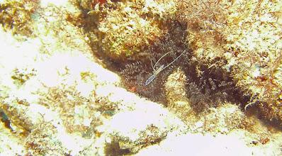Photo: Pederson_Shrimp